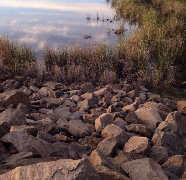Can you find the rabbit? I found a warren of bunnies around Lake Ginninderra.