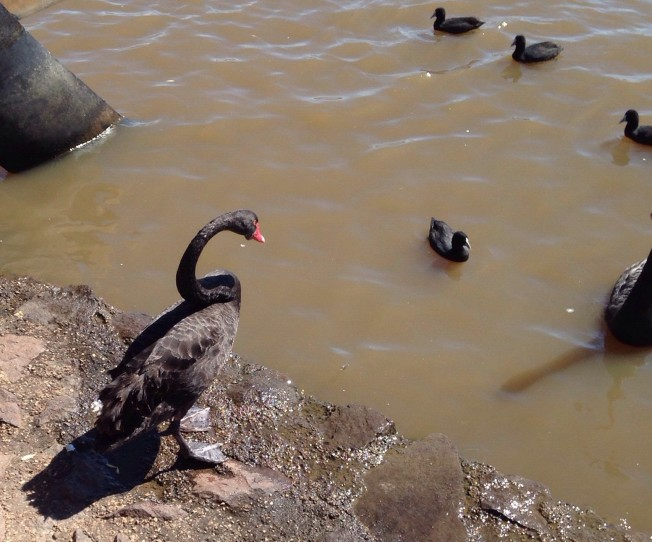 A black swan. Apparently rare outside of Australia but relatively common here.